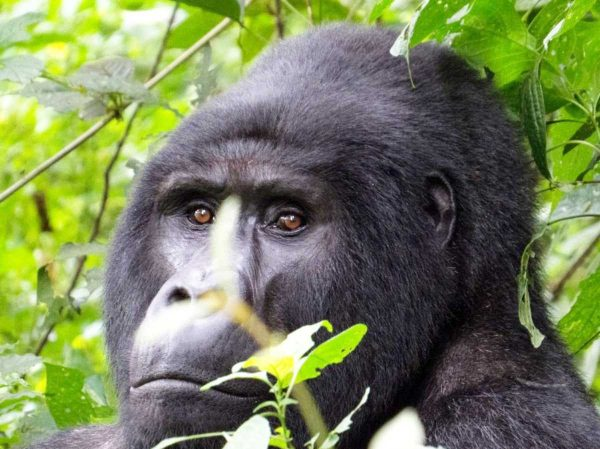 Rwanda-3-Days-Gorilla-Tracking-Safari-and-Wildlife-sight-seeing-uganda