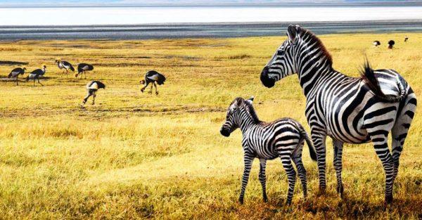 zebra serengeti