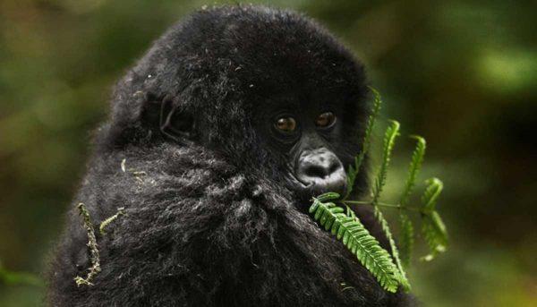 baby-gorilla-feeding