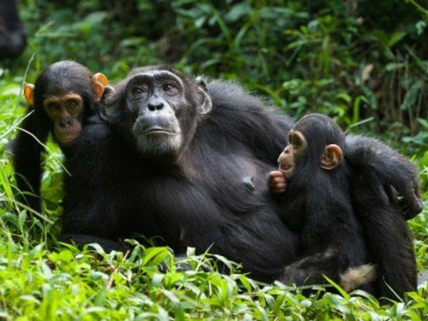 chimpanzees-uganda-GO2AFRICALUXURYsafaris