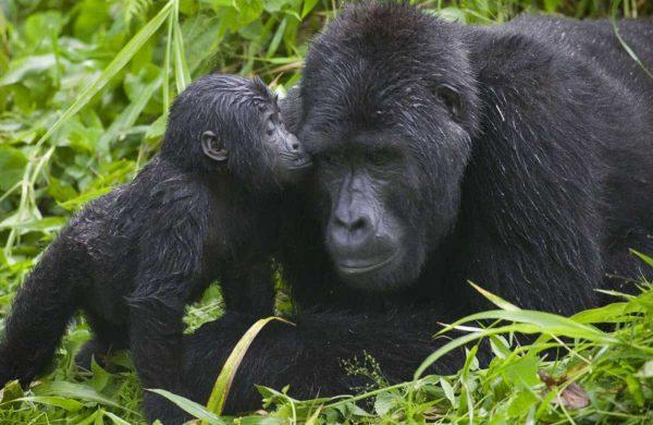 cropped-cropped-Rwanda-Gorilla-Safari2
